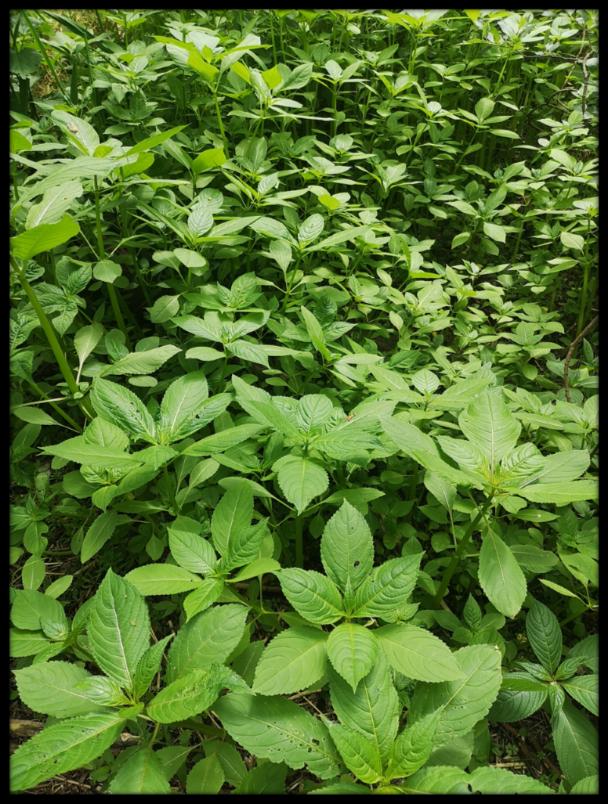 Himalayan Balsam Pulling 1