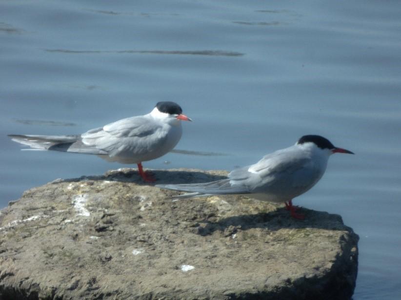 Common Tern 2