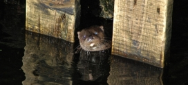 Species Focus- Eurasian Otter (Lutra lutra)