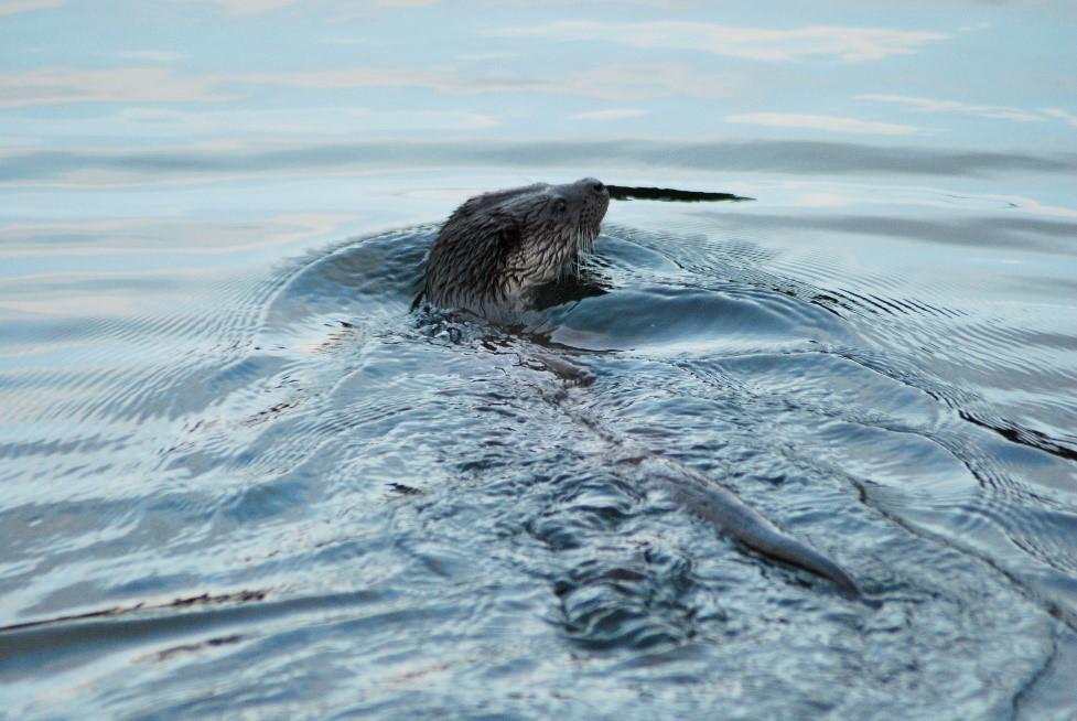 Eurasian Otter 5