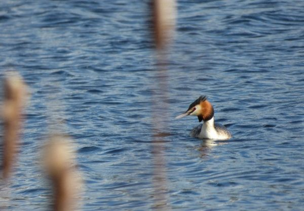 Species Focus- Great Crested Grebe (Podiceps cristatus)
