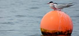 Species Focus- Common Tern (Sterna Hirundo)