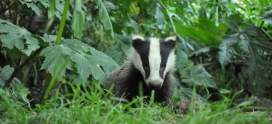 Species Focus – European Badger – Meles meles