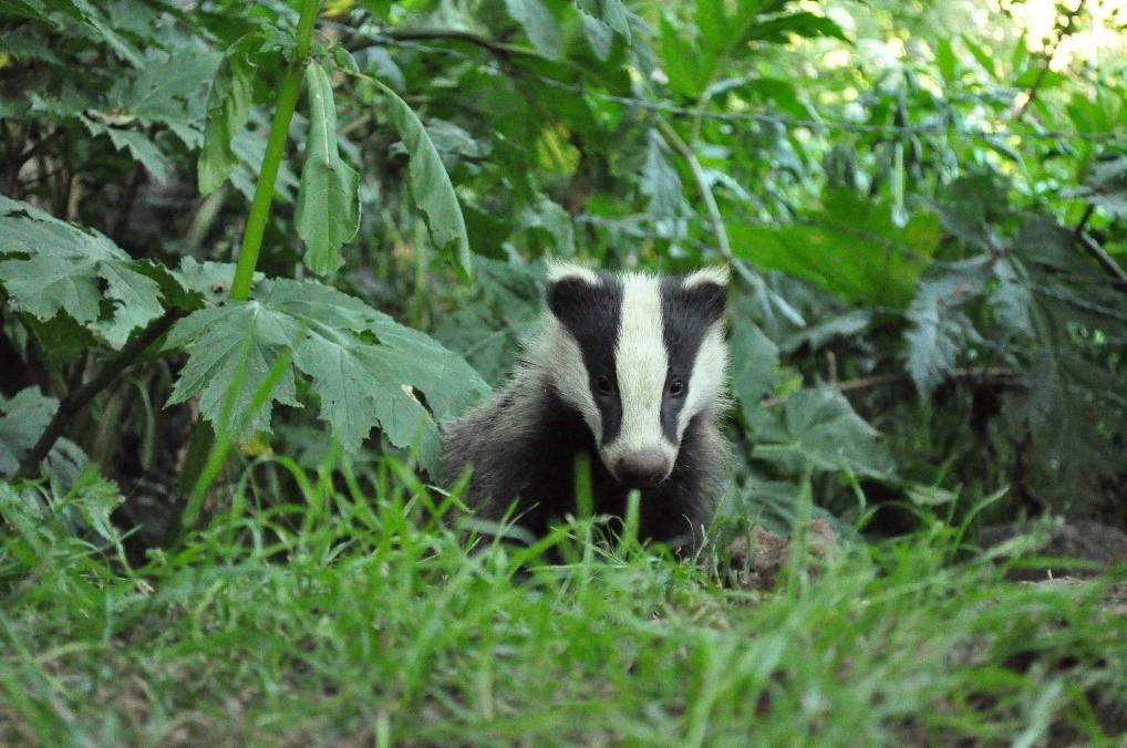 Species Focus – European Badger – Meles meles