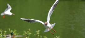 Species Focus- Black Headed Gull- Chroicocephalus ridibundus