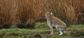 Irish Hare- Lepus Timidus Hibernicus