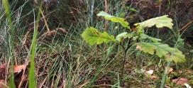 Species Focus- Oak (Quercus spp.)